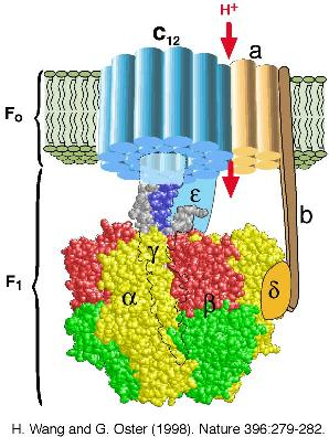 http://users.soe.ucsc.edu/~hongwang/Images/ATP_synthase2.jpg